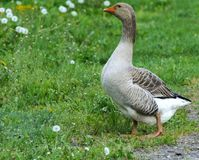 A large homemade gray goose grazes on a background of green grass with yellow dandelions. royalty free stock photography