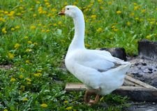 A large homemade white goose grazes on a background of green grass with yellow dandelions. royalty free stock photos
