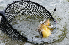 Large hooked carp in a fishing net. Large hooked carp still attached to the line and hook being landed in a fishing net in a lake, close up view Stock Photos