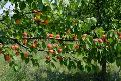 Large horizontal branches with apricots royalty free stock photos