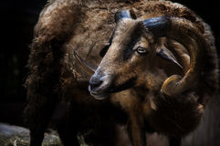 Large horn ram. A large ram or goat with curled horns in a dark surrounding. Concept for Aries the ram royalty free stock photography