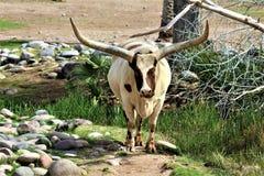 Ankole Watsui Cattle at the Phoenix Zoo, Arizona Center for Nature Conservation, Phoenix, Arizona, United States