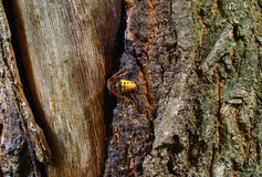 Large hornet. Is looking for something in the crust of oak Royalty Free Stock Images