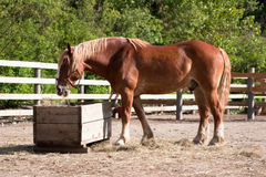 Large horse eating hay Stock Image