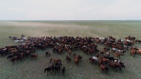 Large horse herd gallop on the steppe and cowboy aerial view