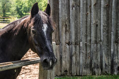 Large horse outside the barn Stock Photography