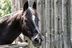 Large horse outside the barn Royalty Free Stock Photo