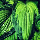 Large Hosta with Rain Water Stock Image