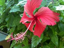 Large Hot Pink Hibiscus huge green leaves bush stock photos