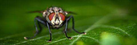 Large House Fly stock photography
