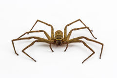 Free Large House Spider. Royalty Free Stock Images - 39882899