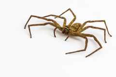 Large house spider. Stock Photo