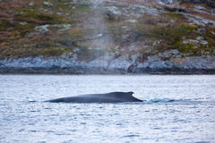 Large humpback whale in the arctic sea Stock Images