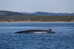 Humpack whale breaching in the waters off the coast of Newfoundland, Canada stock photo