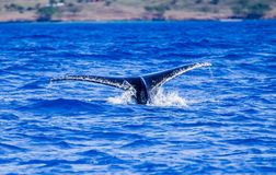 Large humpback whale dives deep flipping tail high in the air. In Hawaii royalty free stock photography