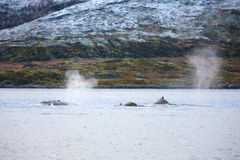 Large humpback whales in the arctic Royalty Free Stock Photos