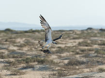 Large hunting osprey bird in flight. Large Osprey wild raptor bird in flight showing its wingspan with capture fish in claws stock image