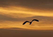 Large hunting osprey bird in flight at sunset Stock Images