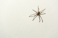 Large huntsman spider on white concrete wall background, with copy space Stock Photos
