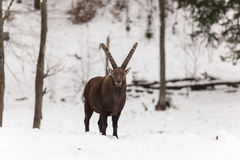 Large ibex with large antlers Royalty Free Stock Photos