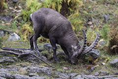 Large ibex in the woods feeding Stock Photos