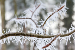 Large ice needles on a little branch. Beautiful ice needles on a branch Royalty Free Stock Images