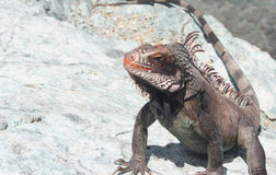 Large Iguana Stock Photography