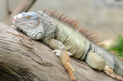 Large iguana Royalty Free Stock Image