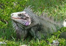 Large Iguana in Caribbean Stock Image