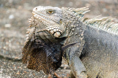 Large Iguana Closeup Stock Images