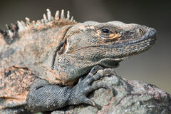A Large Iguana from Costa Rica Royalty Free Stock Photography