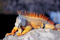 Large iguana facing camera Royalty Free Stock Images
