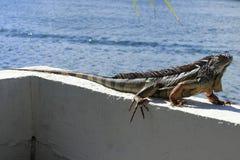 Large Iguana in Florida Stock Photography