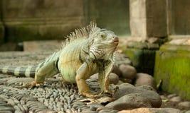 Large iguana Royalty Free Stock Image