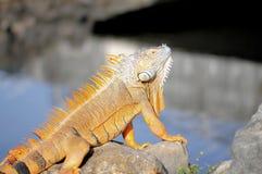Large iguana Royalty Free Stock Images