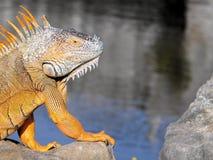 Large iguana Royalty Free Stock Photography
