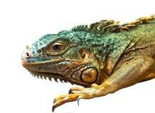 Large iguana on isolated royalty free stock photos