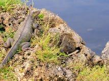 Large iguana, lizards in Florida Stock Images