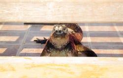 Large iguana lying on tiled surface staring into Royalty Free Stock Image