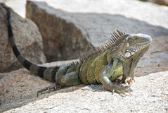 Large Iguana Resting on a Rock Royalty Free Stock Images