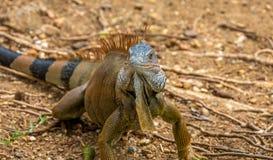 Large Iguana Stock Image