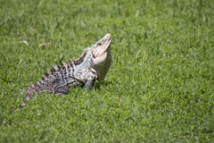 Large Iguana in short grass in Central America Royalty Free Stock Image