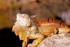 Large iguana showing dewlap Royalty Free Stock Photography