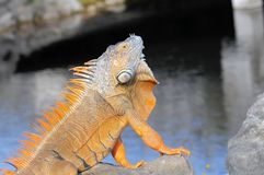 Large iguana showing dewlap. A green iguana in the sun by the water in South Florida Stock Photography