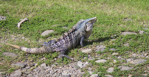 Large Iguana sitting on nearby rocks in grass. Costa Rican Large Iguana warming hiimself on nearby rocks in short grass Stock Images
