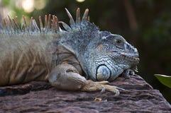 Large iguana Stock Photos
