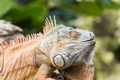Large iguana Royalty Free Stock Photos