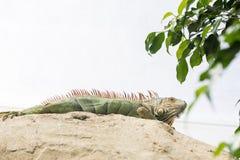 Large iguana Stock Images