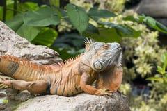 Large iguana Royalty Free Stock Photo
