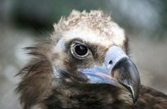 The large image of a bird of family hawk. With the big beak on the nature Stock Photography